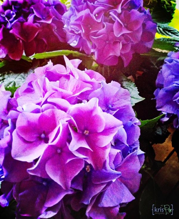 hydrangeas---purple